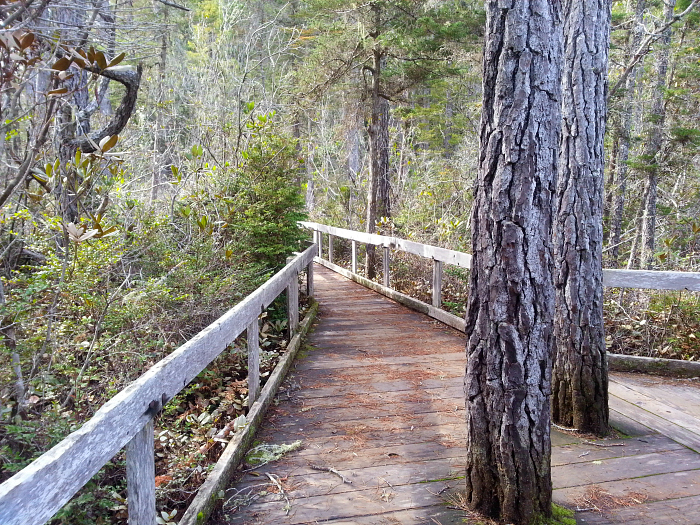 Pygmy Forest at Van Damme State Park