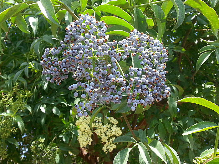 Elderberries at The Ecology Center - San Juan Capistrano, California