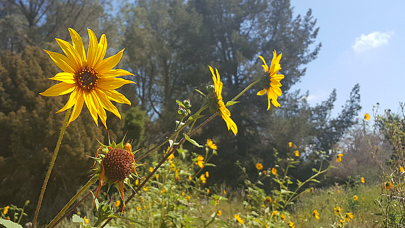 Wildflowers at Rancho Santa Ana Botanic Garden in Claremont