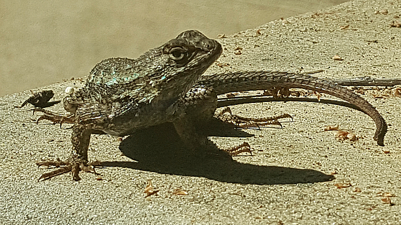 Lizard at Rancho Santa Ana Botanic Garden in Claremont
