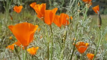 California Poppies - Wildflowers at Rancho Santa Ana Botanical Garden in Claremont