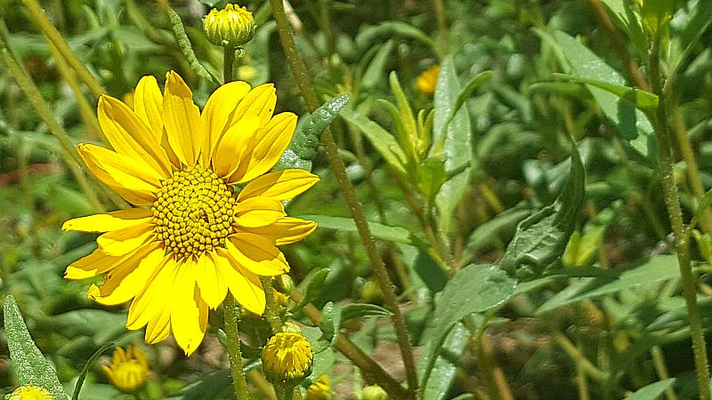 Wildflowers at Rancho Santa Ana Botanic Garden in Claremont