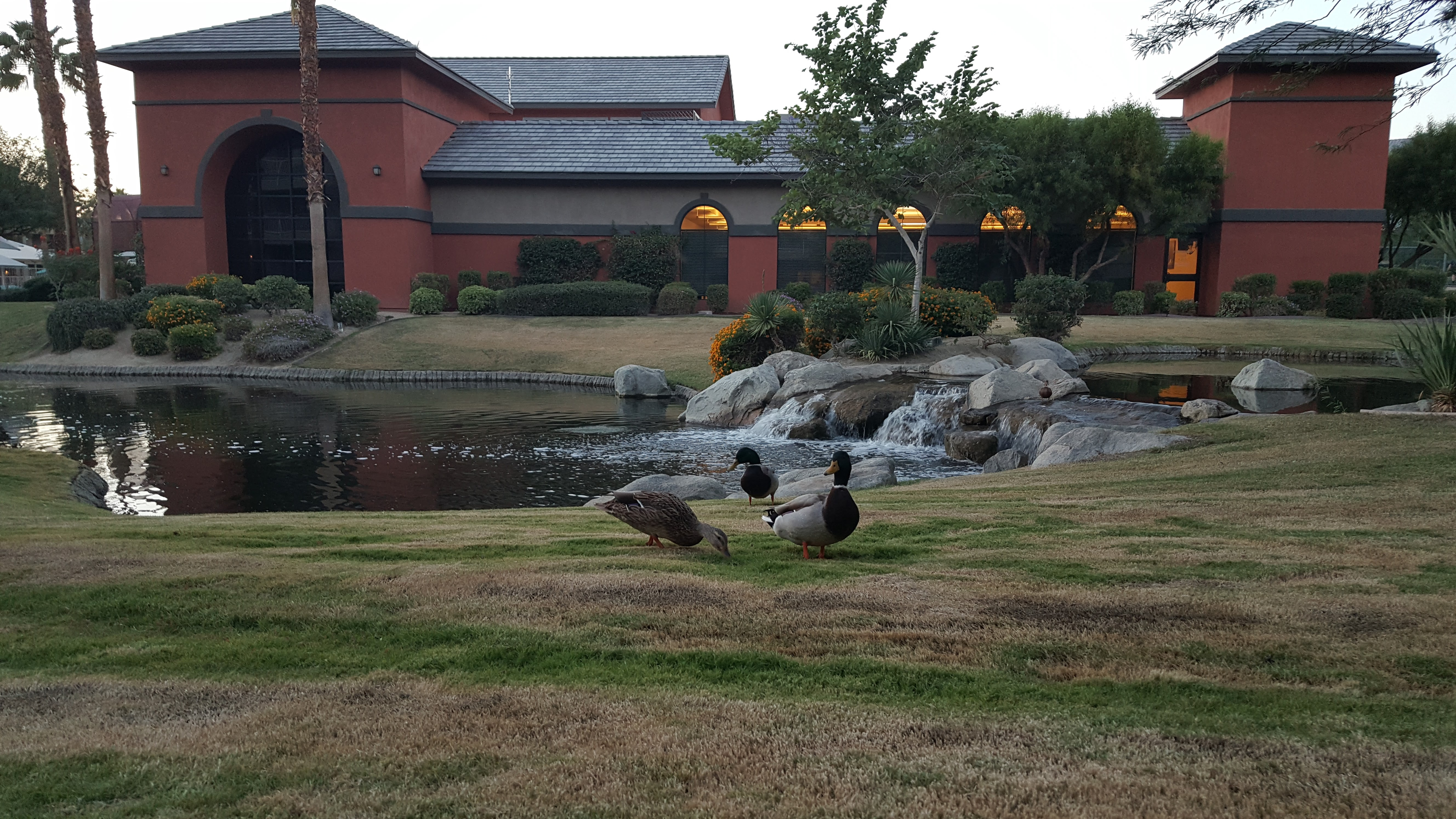 Ducks at Wyndham Worldmark in Indio, California