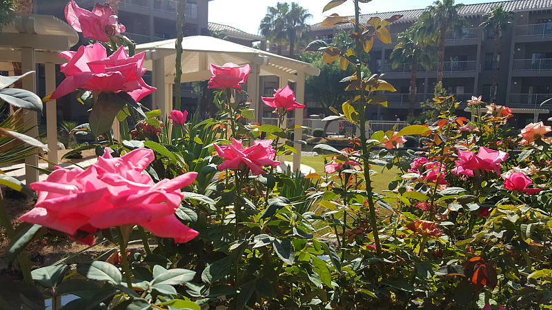 Pink Roses at Wyndham Worldmark in Indio, California
