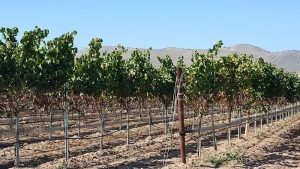 Santa Maria Valley Vineyards