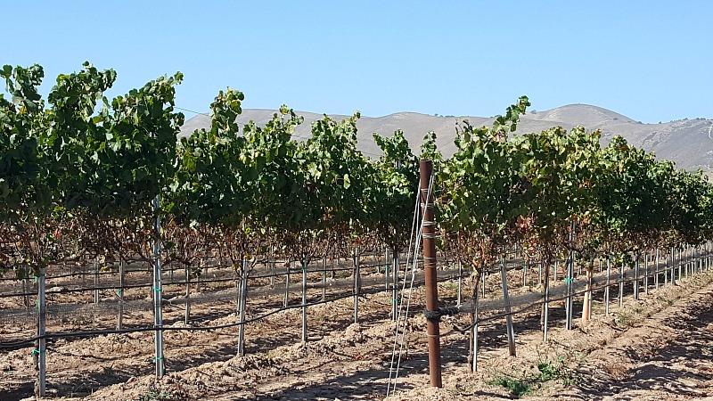 Santa Maria Valley Vineyards