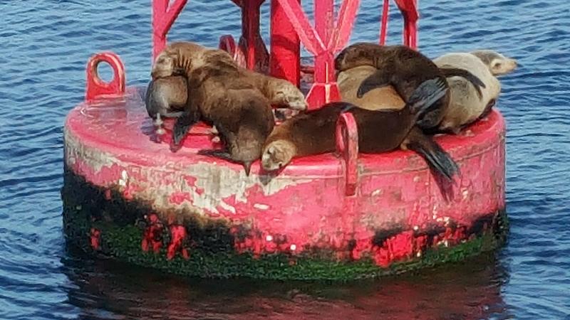 sea lions napping dana point