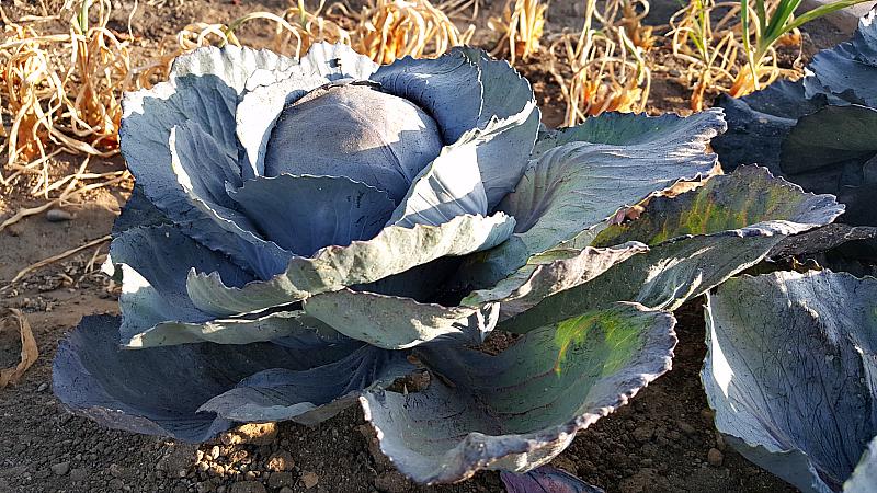 ocfair cabbage