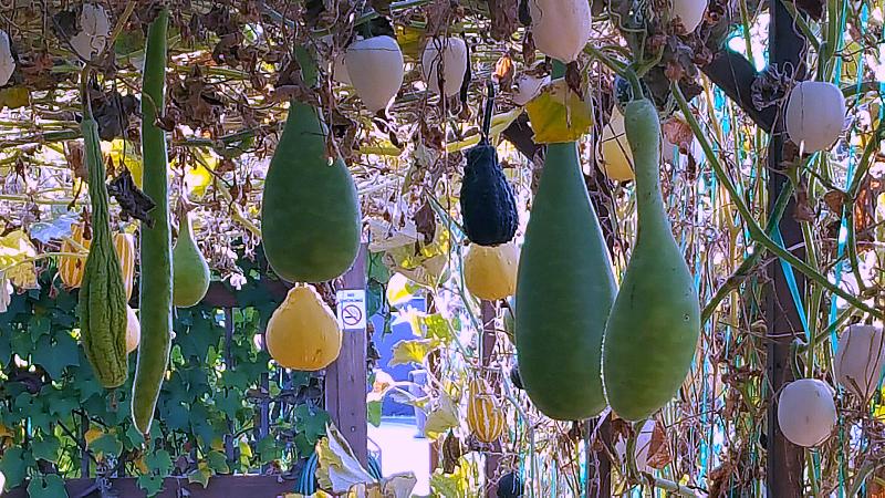 ocfair gourds