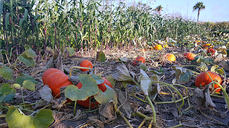 ocfair pumpkins corn