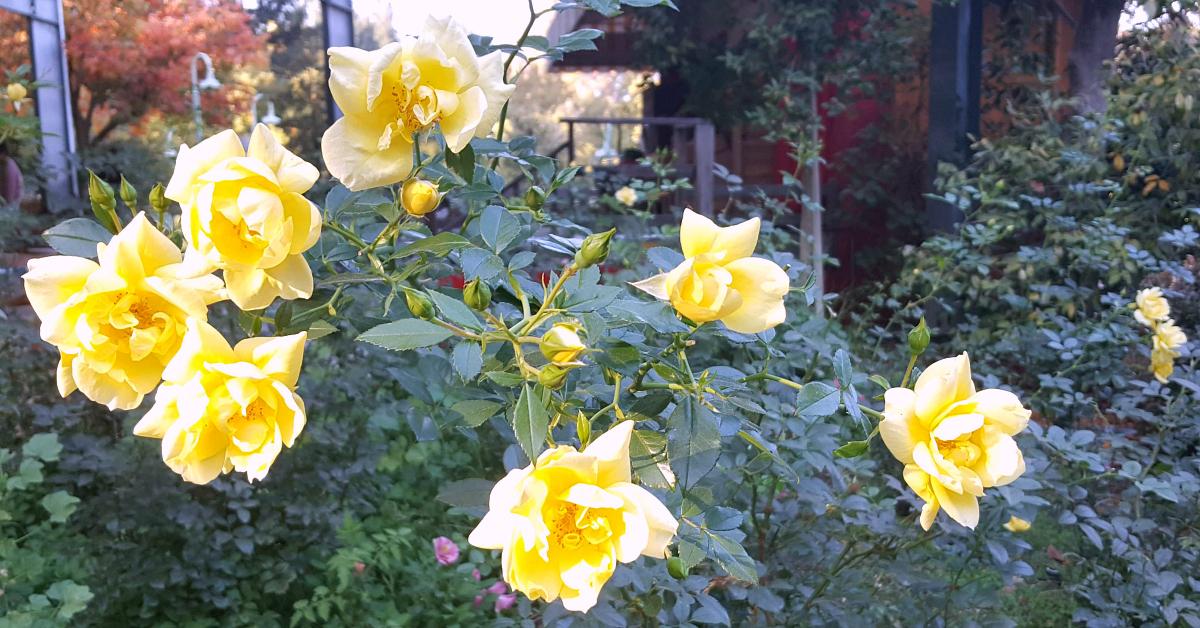 14 gilroy gardens roses