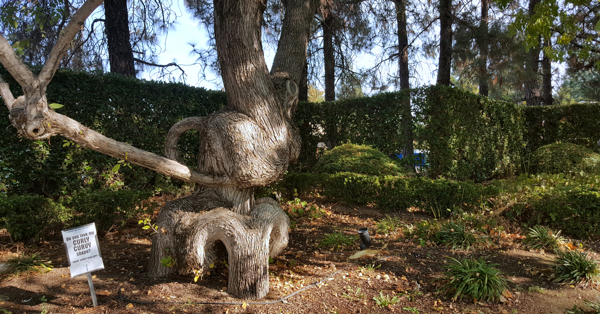 2 gilroy gardens curly curvy tree