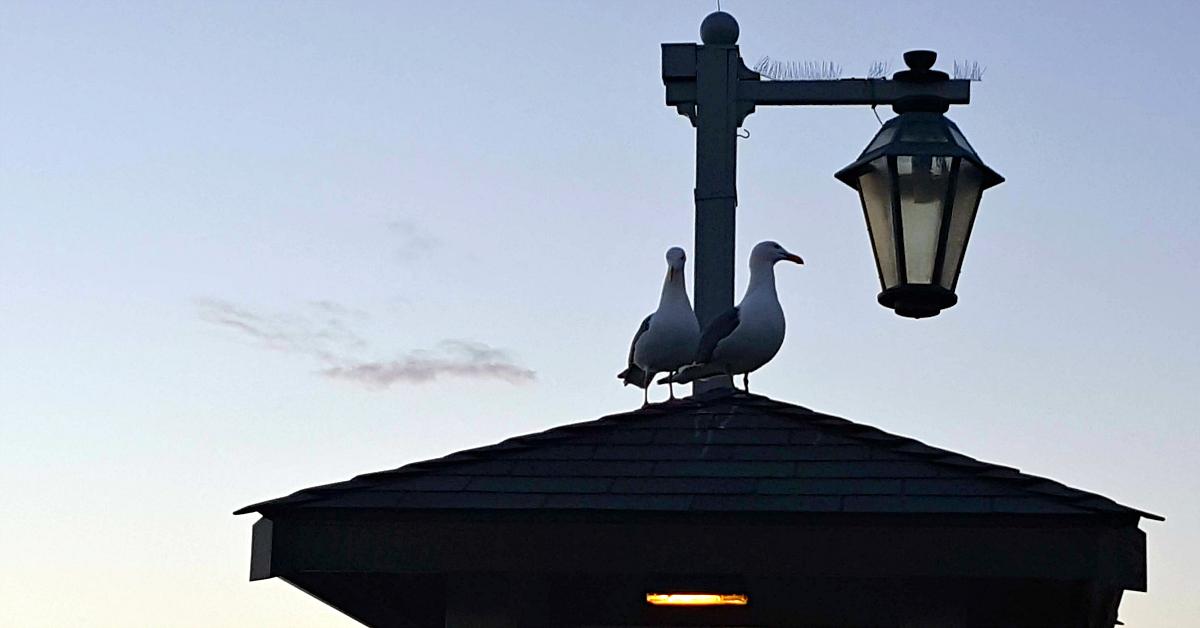 stearns wharf seagulls