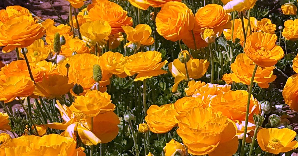 2 flower fields 10