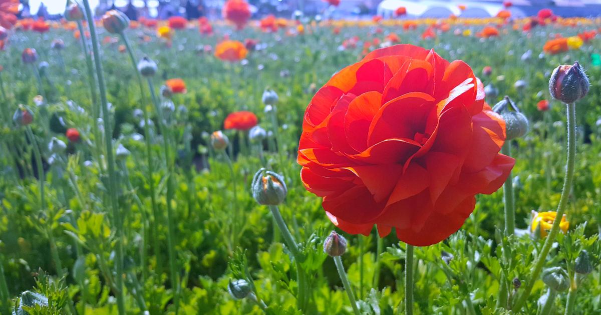 flower fields 11