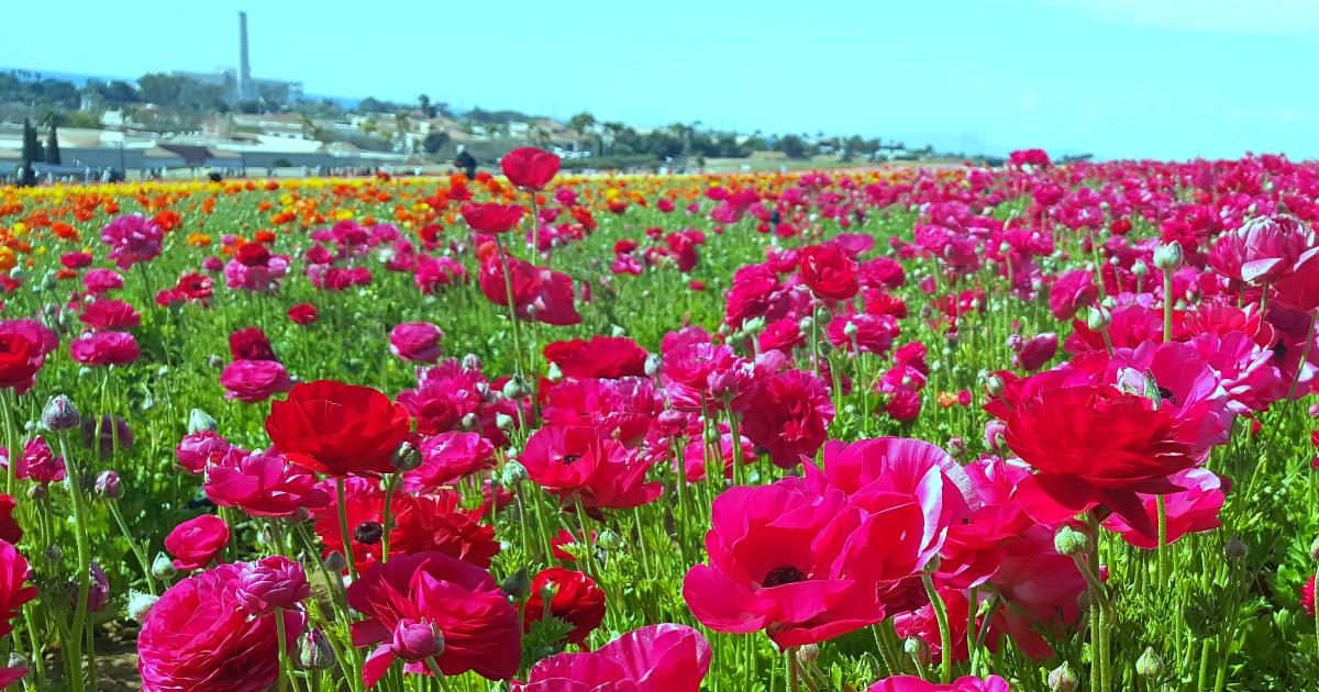 1 flower fields 12