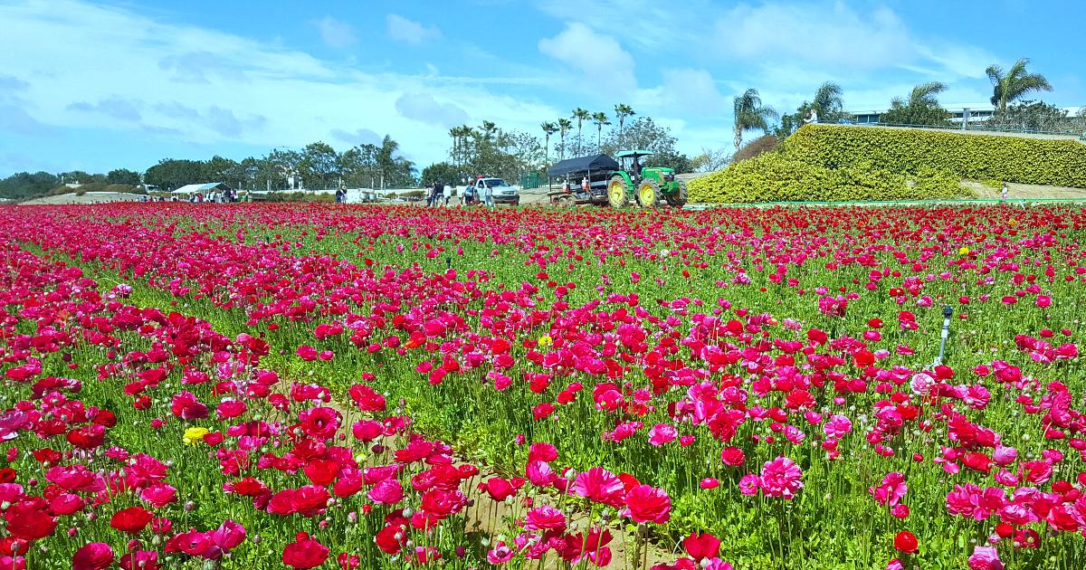 7 flower fields 13
