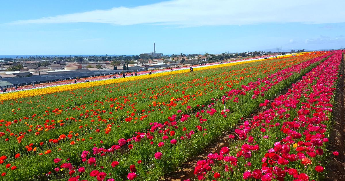 flower fields 14