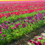 Carlsbad Flower Fields – Ranunculus Everywhere!