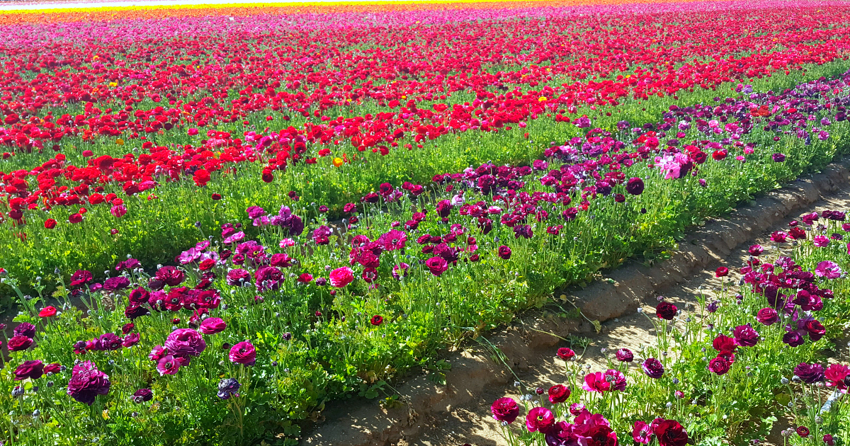 feature carlsbad flower fields