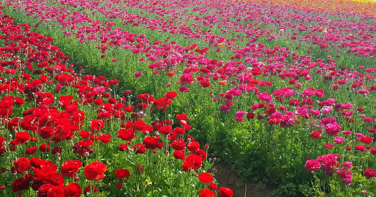 carlsbad flower fields 18