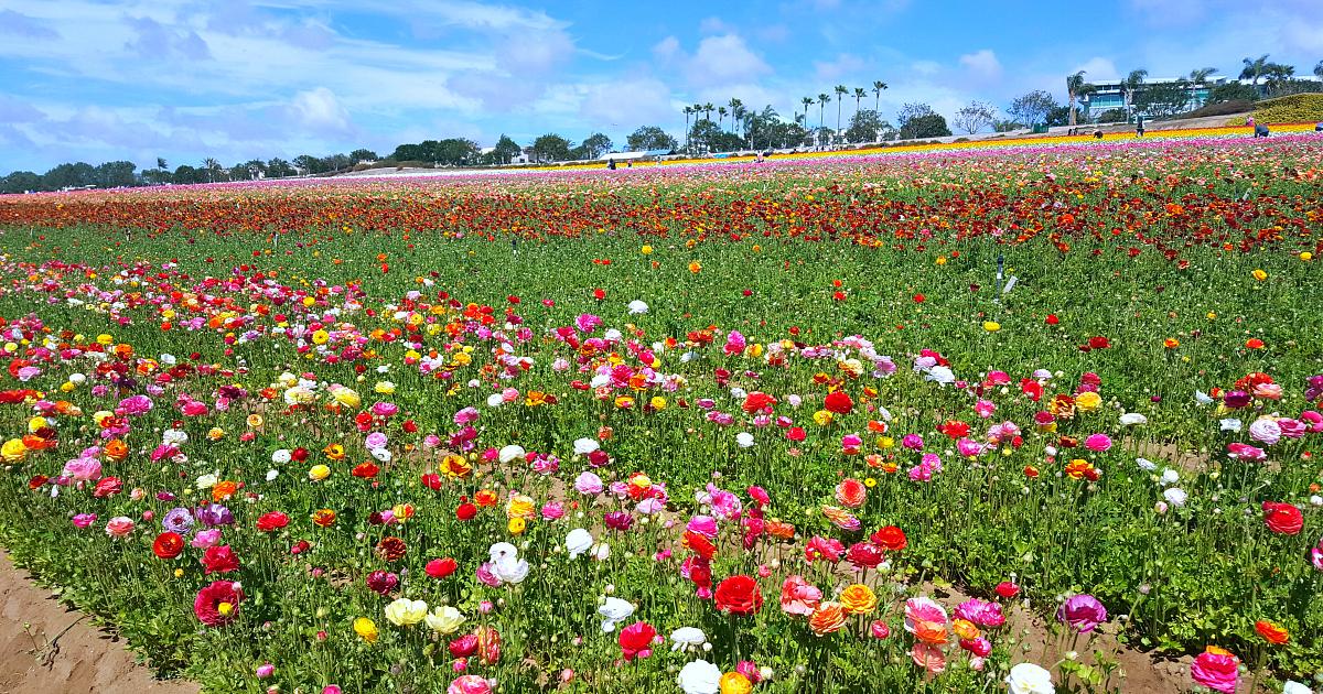 flower fields 4