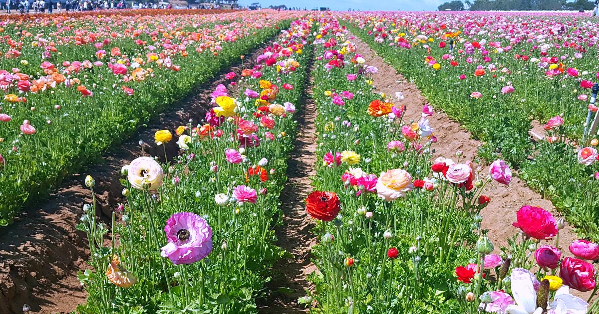 5 flower fields 5