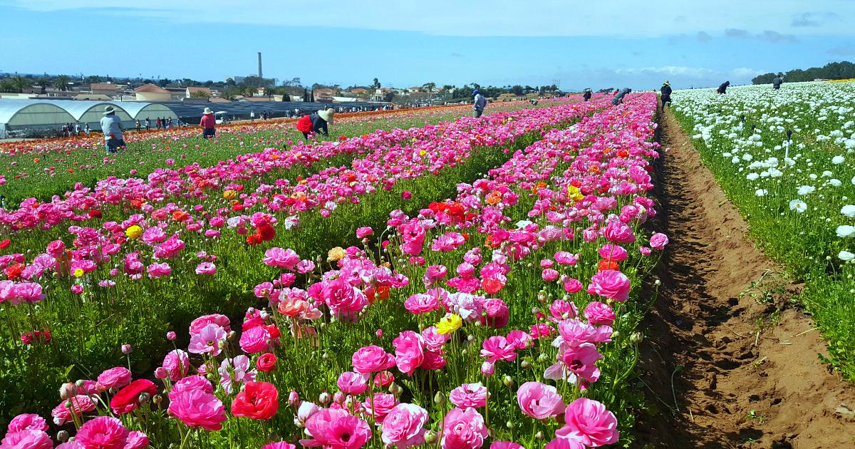 carlsbad flower fields 6