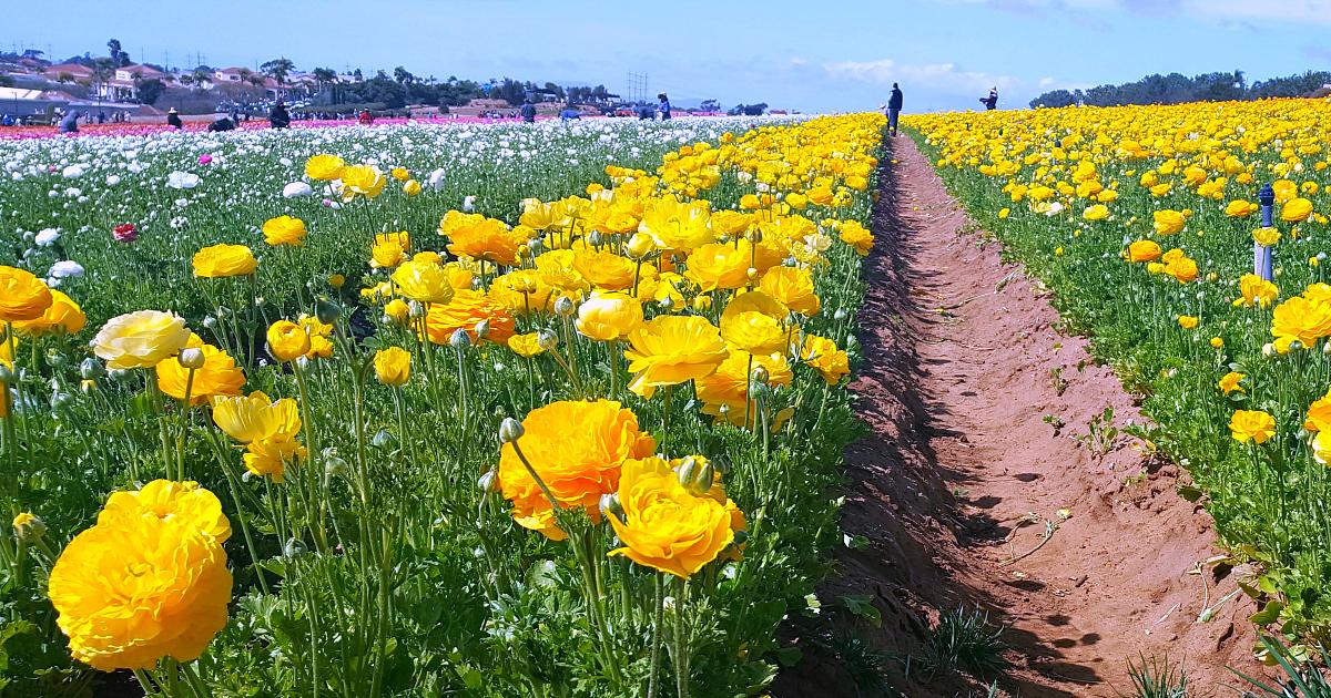 8 flower fields 8