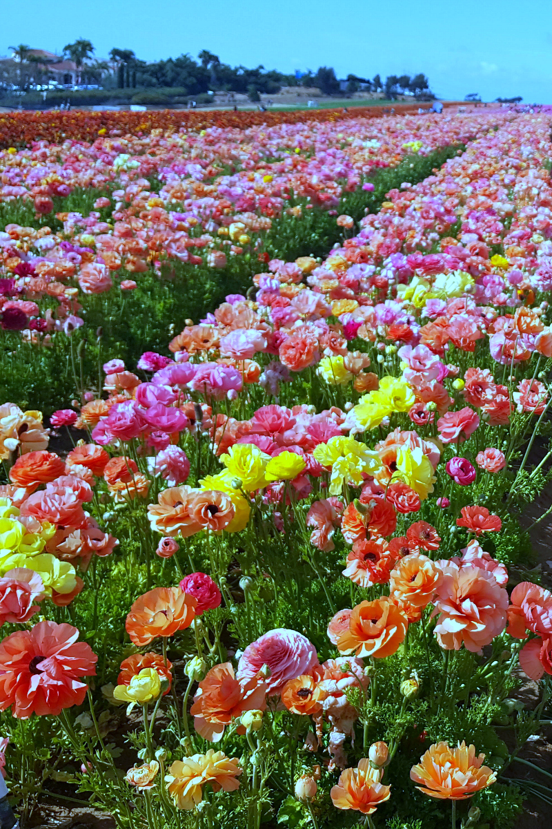 pin carlsbad flower fields
