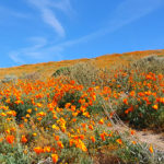 California Super Bloom – Poppies, Poppies, Poppies!