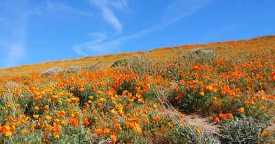 blue skies california poppies