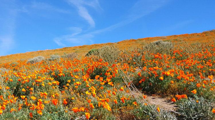 blue skies california poppies
