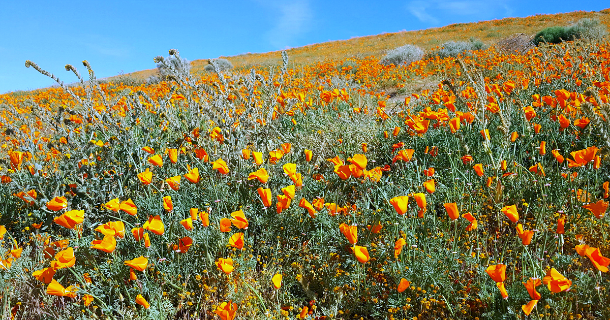 feature california super bloom poppies