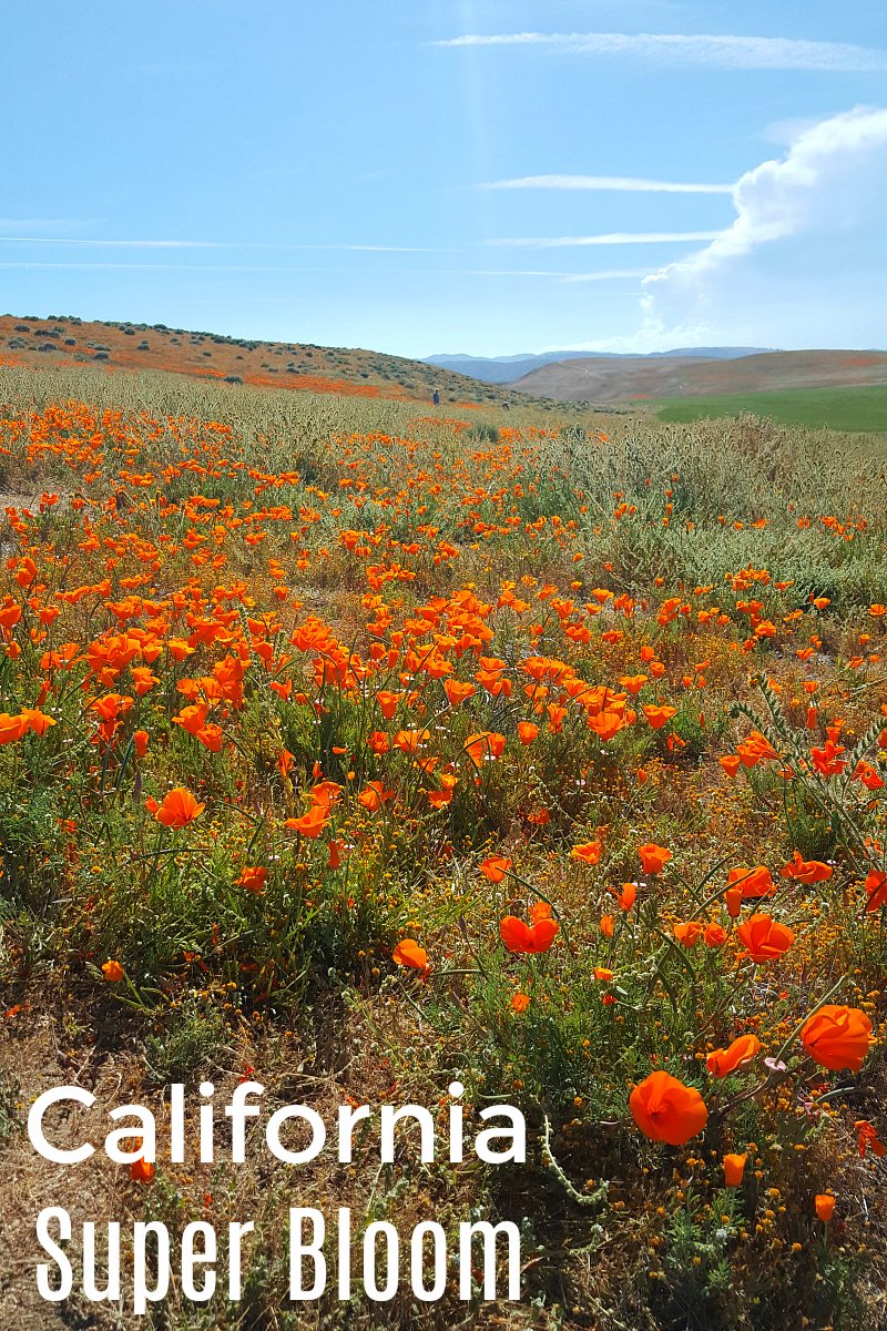 pin poppies california super bloom